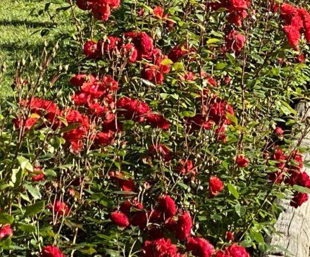 Punaisia kukkia.
